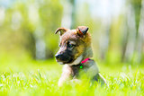 ittle puppy posing sitting in green grass on the lawn