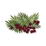 Isolated clipart Acai Palm