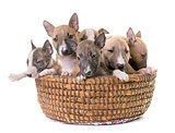 group of miniature bull terrier