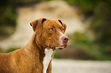 American Pit Bull Terrier dog outdoor portrait