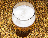 A glass of beer on the background of malt