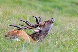 sika deer in the grass. Parc de Merlet, France