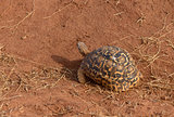 Closeup of Leopard tortoise