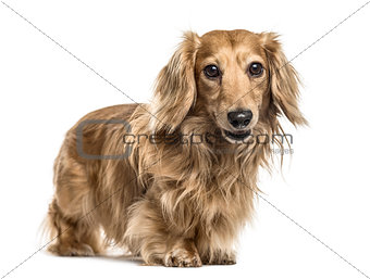 Dachshund standing, isolated on white