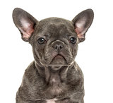 Close-up of a french bulldog puppy, isolated on white