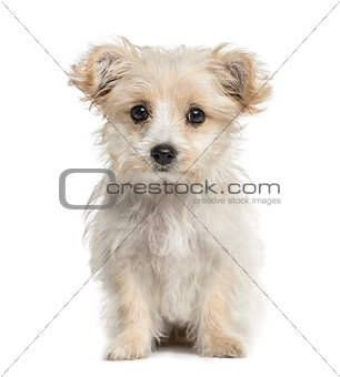 crossbreed dog puppy looking at the camera, isolated on white