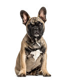 French bulldog sitting, isolated on white