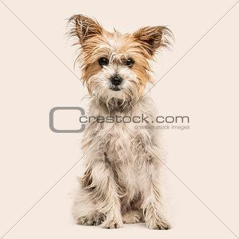 Crossbreed dog sitting