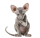 Peterbald kitten looking at the camera, cat, sitting