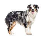 side view of a panting australian Shepherd standing up (1.5 year