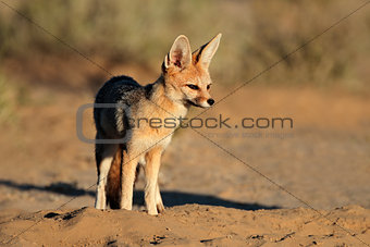 Cape fox in natural habitat