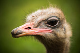 Ostrich looking in profile to the camera