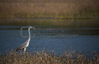 Grey heron in river