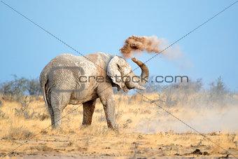 African elephant in dust