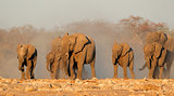 African elephants in dust