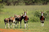 Family group of bontebok antelopes