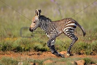 Cape mountain zebra foal