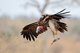 Lappet-faced vulture landing