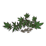 Isolated clipart Hemp