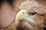 Eye of A Eagle