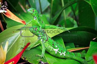Green Iguanas in Costa Rica