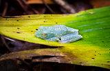 Scarlet-webbed Treefrog in Costa Rica