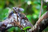 Common Basilisk in Costa Rica