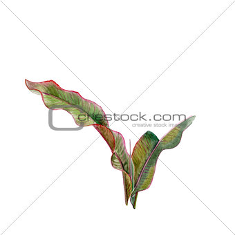 Green leaves. Tropical plant banana leaf. Watercolor drawing. Hand drawn floral