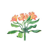 Botanical watercolor illustration of alstroemeria flowers isolated on white background with description