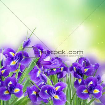 fresh blue irise flowers