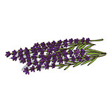 Isolated clipart Lavender