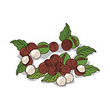 Isolated clipart Macadamia