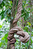 Twisted Jungle Vine in Costa Rica