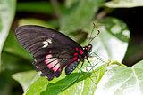Doris Longwing Butterfly in Costa Rica