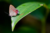 Hairstreak Butterfly in Costa Rica