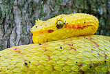 Eyelash Viper Up Close, Costa Rica