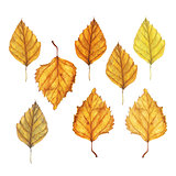 Watercolor autumn birch leaves set. Hand drawn red, brown and yellow tree leaves isolated on white background