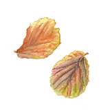 Botanical watercolor illustration of colorful begonia leaves on white background