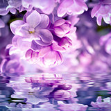 Lilac flower blossom background
