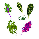 Kale vegetable hand drawn illustration.