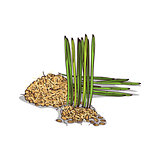 Isolated clipart Wheat germ