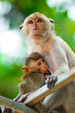 Monkey mother care and breastfeeding