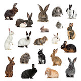 Large collection of rabbit, pet and exotic, in different positio