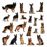 Large collection of German Shepherd Dog, adult, puppy, in differ