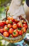 Tomato harvest in summer
