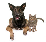 kitten and malinois