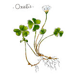 Wild plant oxalis hand drawn in color. Herbal medicine vector illustration.