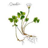 Wild plant oxalis hand drawn in color. Herbal medicine vector illustration.