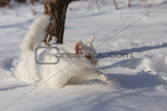 maine coone white cat in the winter and snow