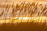 Long Grass Growing in Beach Sand Dunes at Sunset or Sunrise